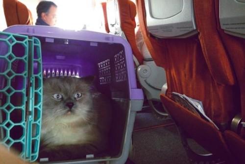 Как перевезти кошку на самолете